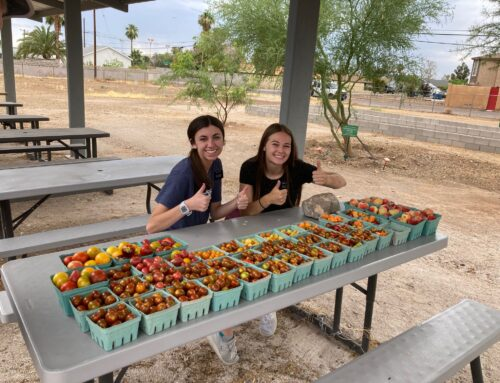 Harvesting peaches, peppers, and tomatoes for the Mt. View Seventh Day Adventist Food Pantry.